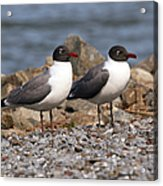 Mr. And Mrs. Laughing Gull  Acrylic Print