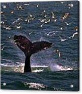 Sounding Humpback Acrylic Print