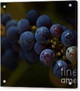 Sour Grapes Acrylic Print