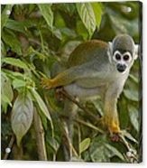 South American Squirrel Monkey Amazonia Acrylic Print