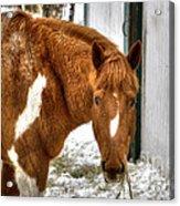 South Barrington Horse 2 Acrylic Print