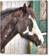 South Barrington Horse Acrylic Print