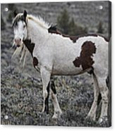 South Steens Wild Stallion Acrylic Print