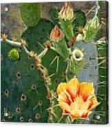 South Texas Prickly Pear Acrylic Print