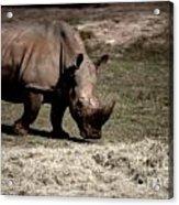 Southern Black Rhino Acrylic Print