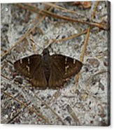Southern Cloudywing Acrylic Print