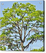 Southern Cypress Acrylic Print