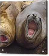 Southern Elephant Seal Pair Calling Acrylic Print by Konrad Wothe