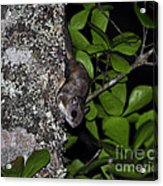 Southern Flying Squirrel Acrylic Print