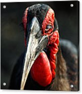 Southern Ground Hornbill Portrait Front View Acrylic Print