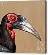 Southern Ground Hornbill Portrait Side View Acrylic Print by Johan Swanepoel