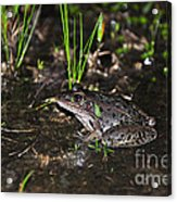 Southern Leopard Frog Acrylic Print