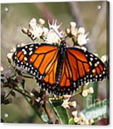 Southern Monarch Butterfly Acrylic Print