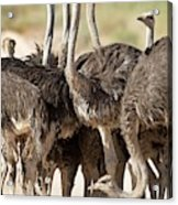 Southern Ostriches Performing Geophagia Acrylic Print