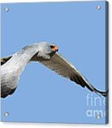 Southern Pale Chanting Goshawk In Flight Acrylic Print