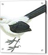 Southern Pied Babbler  Acrylic Print