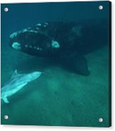 Southern Right Whale And Bottlenose Acrylic Print