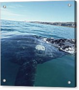 Southern Right Whale At Surface Acrylic Print