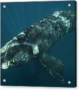 Southern Right Whale Calf Valdes Acrylic Print