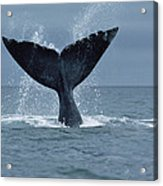 Southern Right Whale Fluke Argentina Acrylic Print
