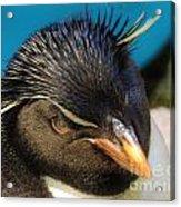 Southern Rock Hopper Penguin Acrylic Print