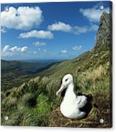 Southern Royal Albatross Acrylic Print