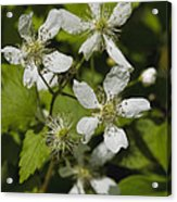 Southern Sawtooth Highbush Blackberry Blossoms - Rubus Argutus Acrylic Print