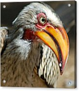 Southern Yellow-billed Hornbill - Tockus Leucomelos  Acrylic Print