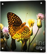 Spangled Fritillary Acrylic Print