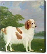 Spaniel In A Landscape Acrylic Print