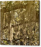 Spanish Moss On Live Oaks Acrylic Print by Christine Till