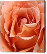 Spanish  Rose Acrylic Print