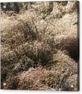 Sparkling Grasses Acrylic Print