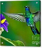 Sparkling Violetear Acrylic Print