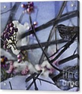 Sparrow And The Beauty Berry Acrylic Print