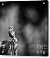 Sparrow In Black And White Acrylic Print