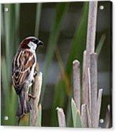 Sparrow In Reeds Acrylic Print