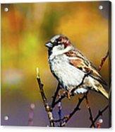 Sparrow In The Park Acrylic Print
