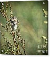 Sparrow In The Weeds Acrylic Print