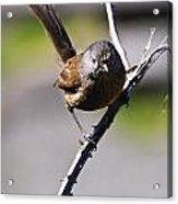 Sparrow On A Branch Acrylic Print