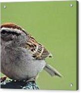 Sparrow Snack Acrylic Print