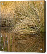Spartina Grass  Acrylic Print
