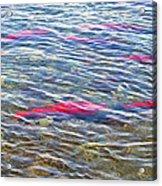 Spawning Salmon In Moraine River In Katmai National Preserve-ak Acrylic Print