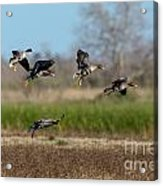 Speckled Belly Geese Landing Acrylic Print
