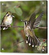 Speckled Hummingbirds Acrylic Print