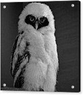 Speckled Owlet Acrylic Print