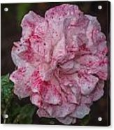 Speckled Rose Acrylic Print