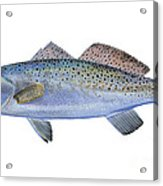 Speckled Trout Acrylic Print