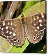 Speckled Wood Butterfly On A Leaf Acrylic Print
