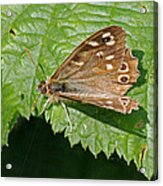 Speckled Wood Butterfly Acrylic Print